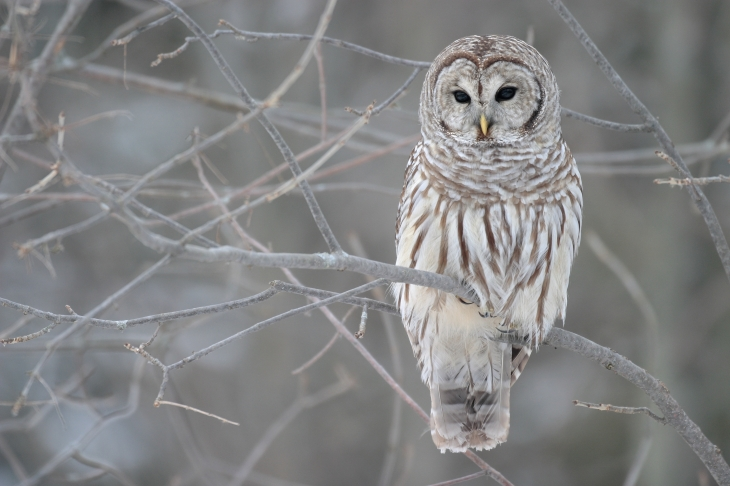 image found on  https://en.wikipedia.org/wiki/Barred_owl